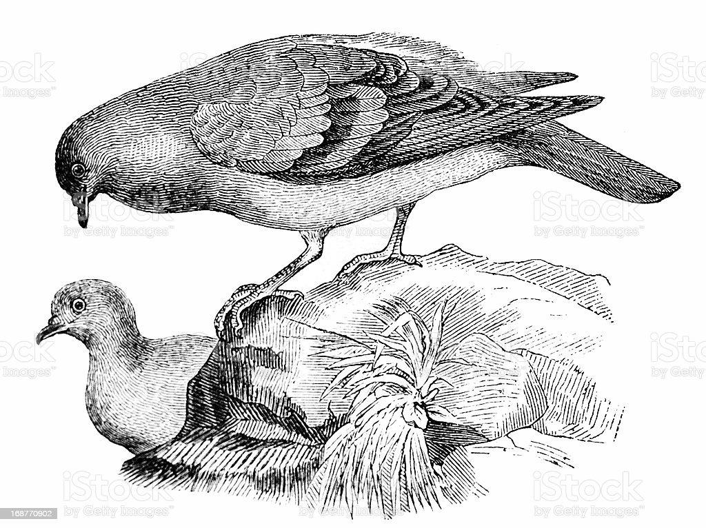 Rock Dove (Columba livia) vector art illustration