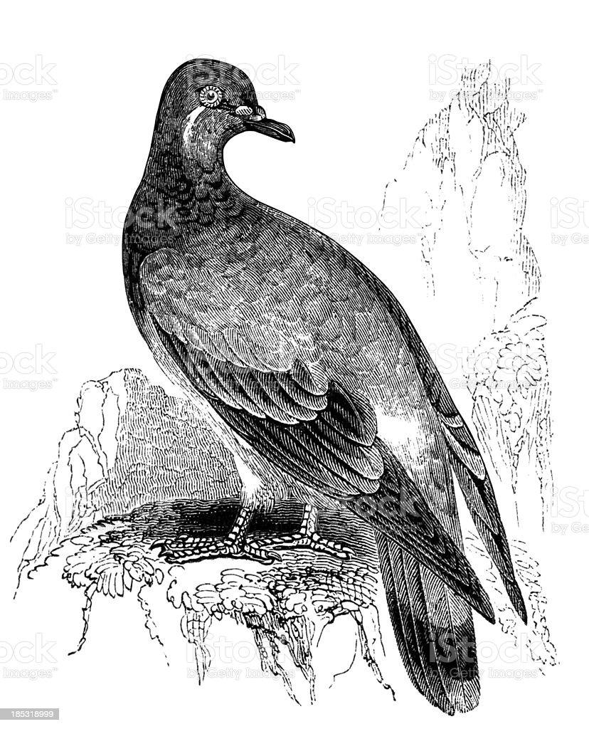 Rock Pigeon vector art illustration