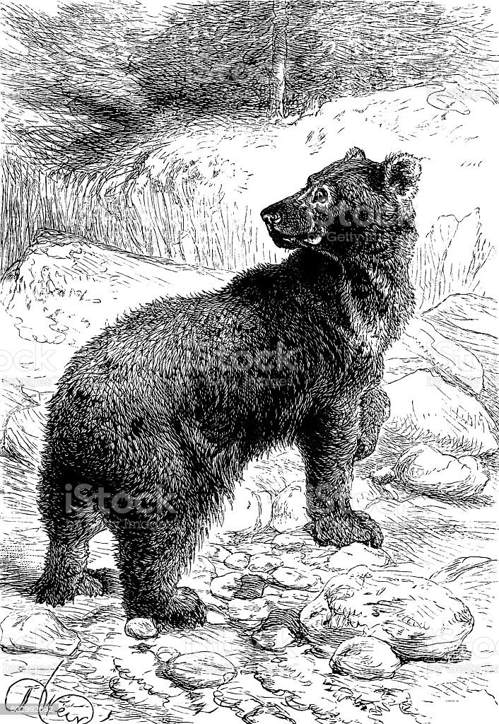 Rocky Mountain bear vector art illustration