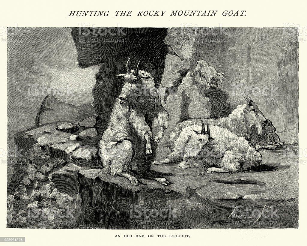 Rocky Mountain Goats, 19th Century vector art illustration