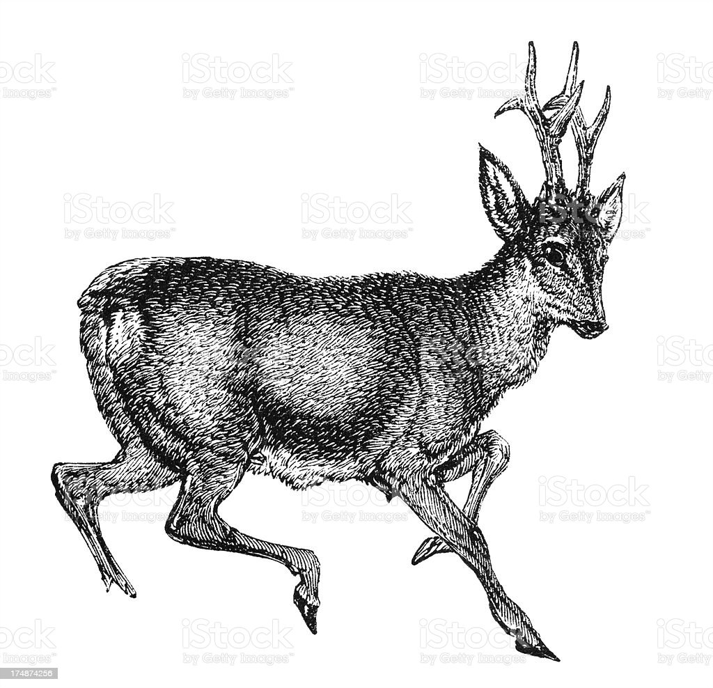 Roe deer royalty-free stock vector art