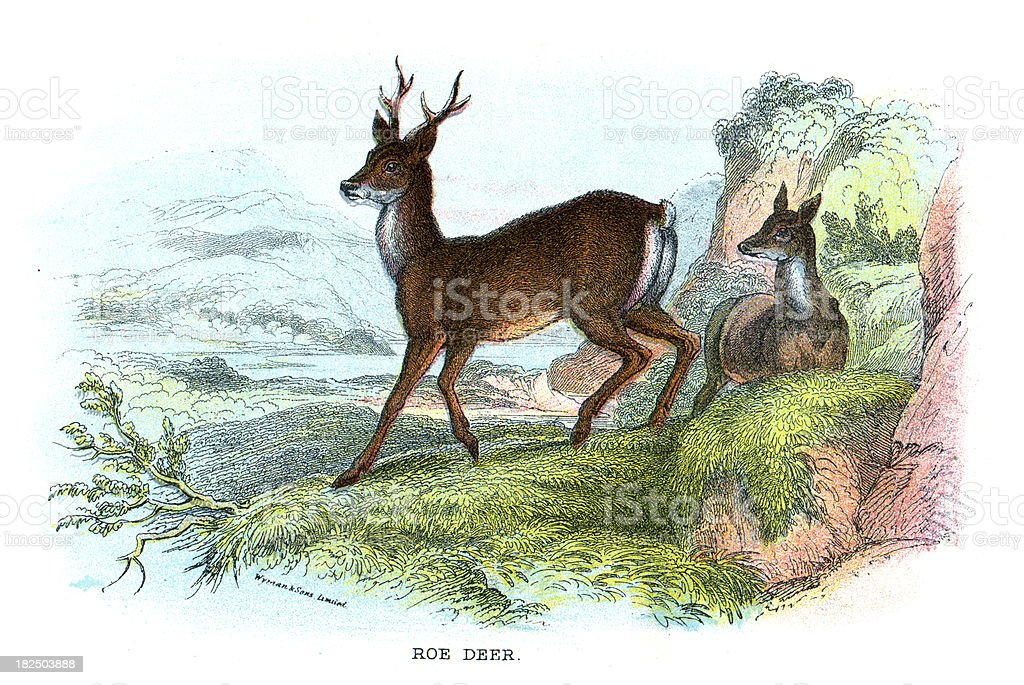 Roe Deer vector art illustration
