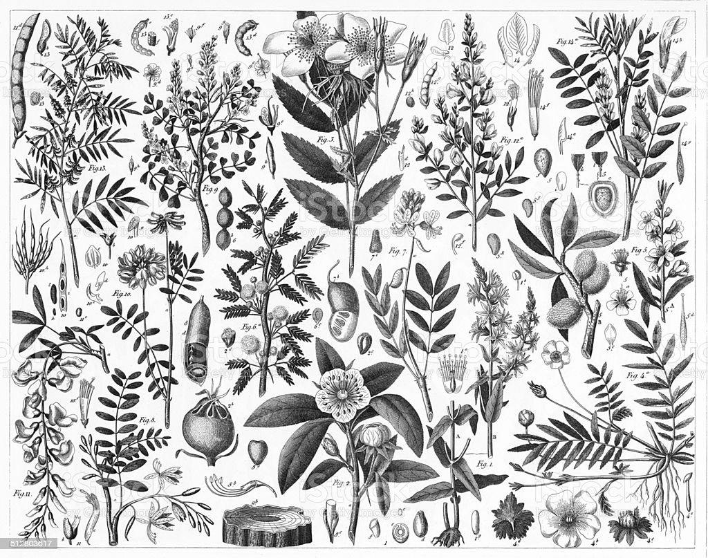 Rosales and Lythrum vector art illustration