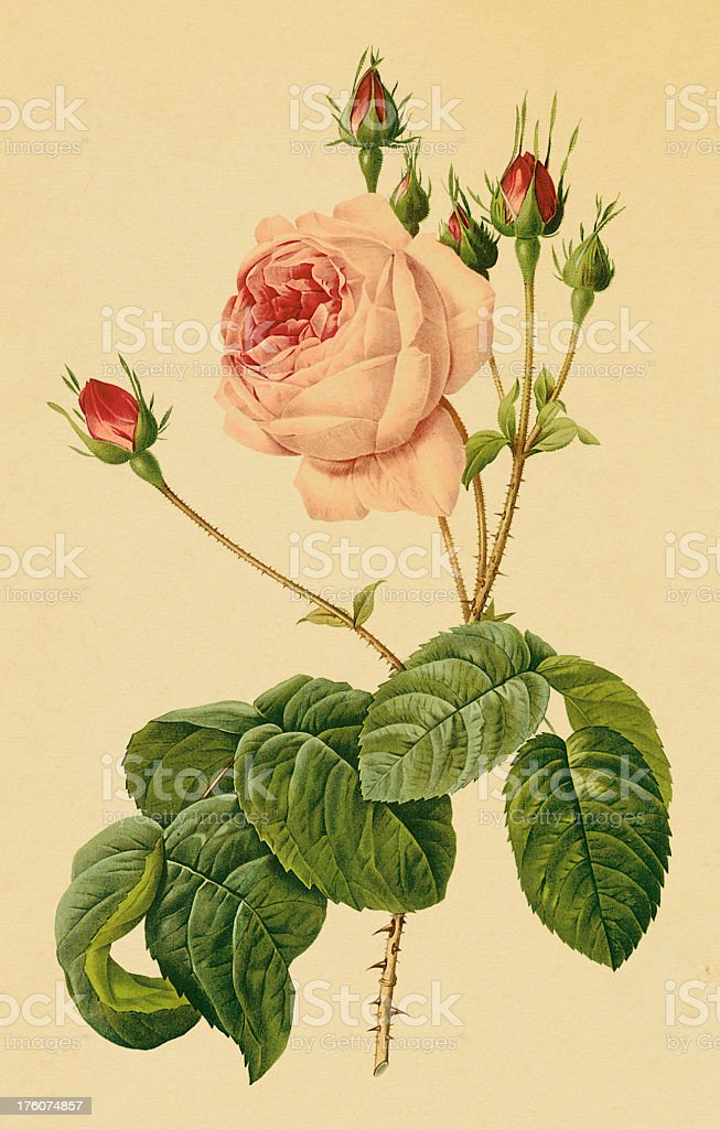 Rose | Antique Flower Illustrations royalty-free stock vector art