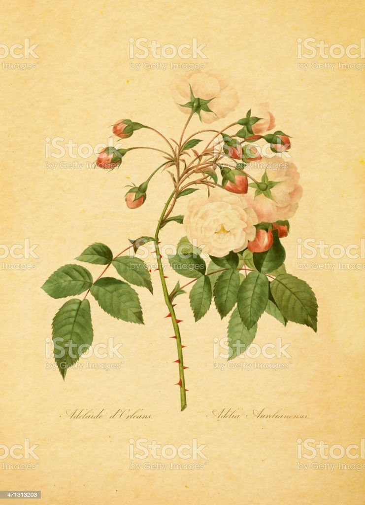 Rose of Orleans or Adelia aurelianensis | Antique Flower Illustrations vector art illustration