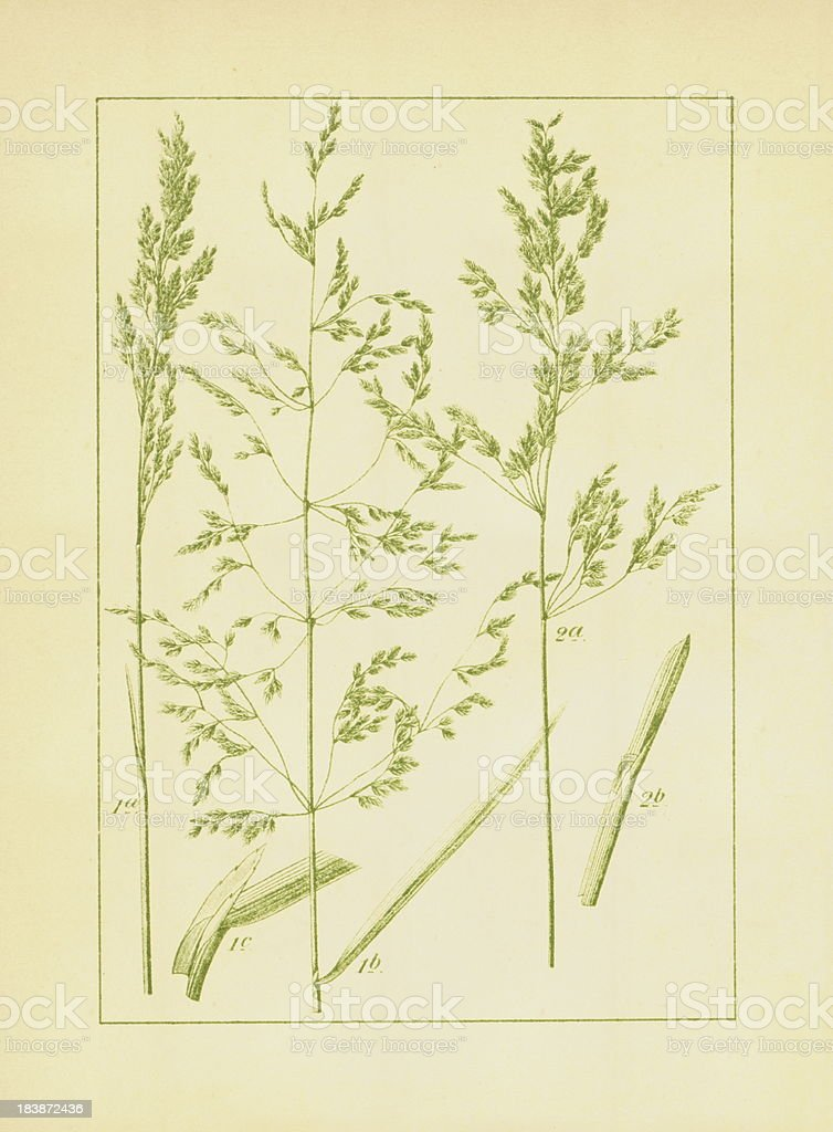 Rough- and Kentucky bluegrass | Antique Flower Illustra vector art illustration