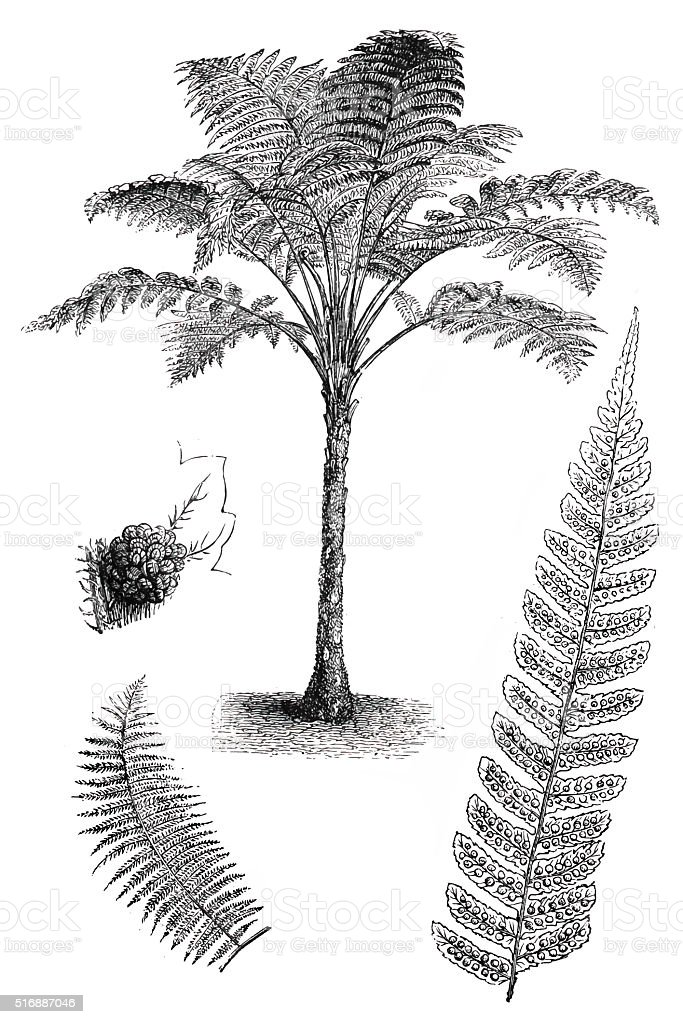 Rough Tree Fern (Cyathea australis) vector art illustration