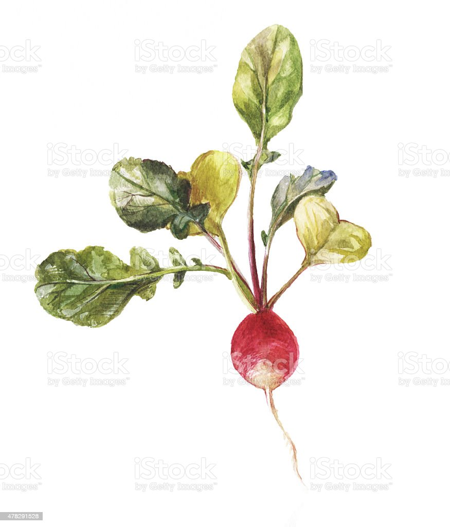 Round garden radish with leaves in watercolor vector art illustration