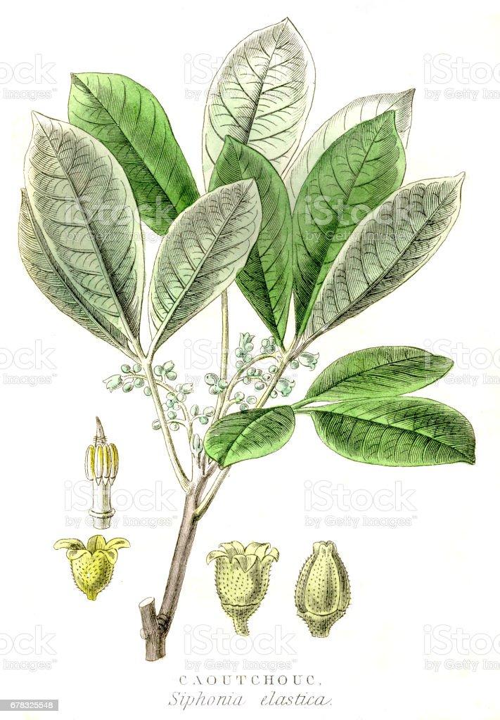 Rubber tree engraving 1857 vector art illustration
