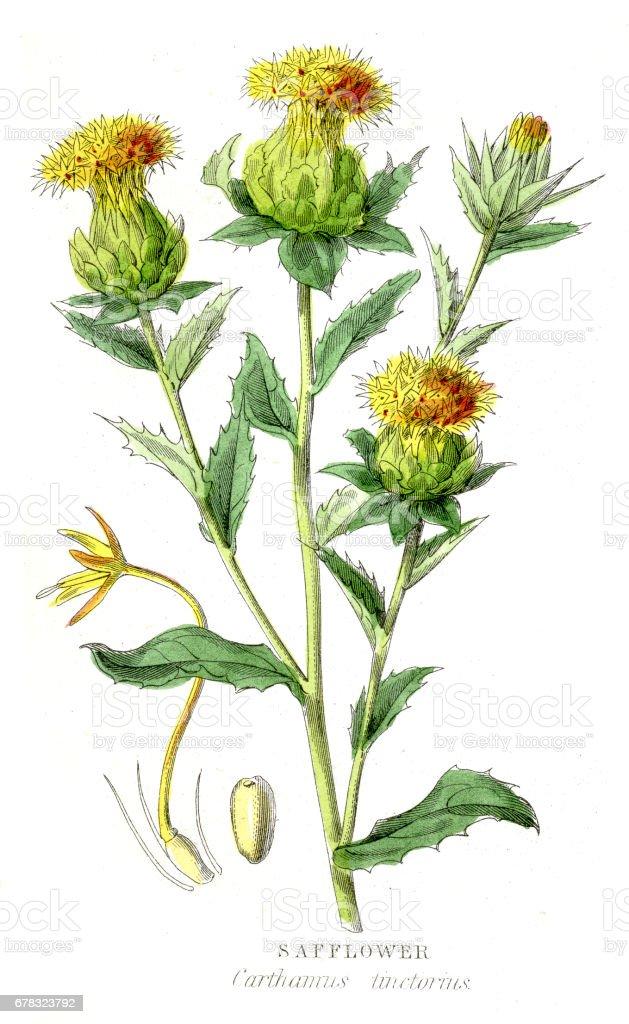 Safflower botanical engraving 1857 vector art illustration