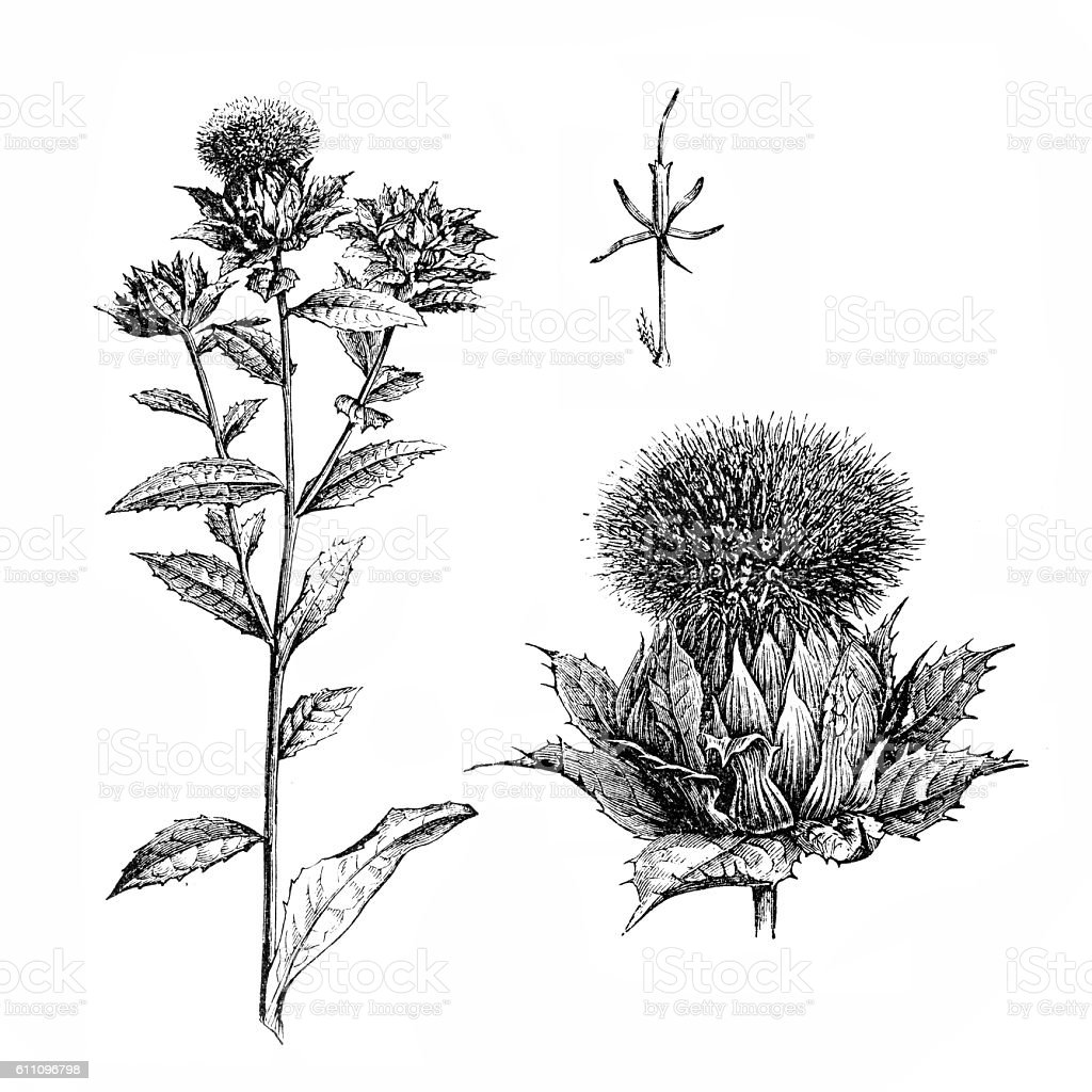 Safflower (Carthamus tinctorius) vector art illustration