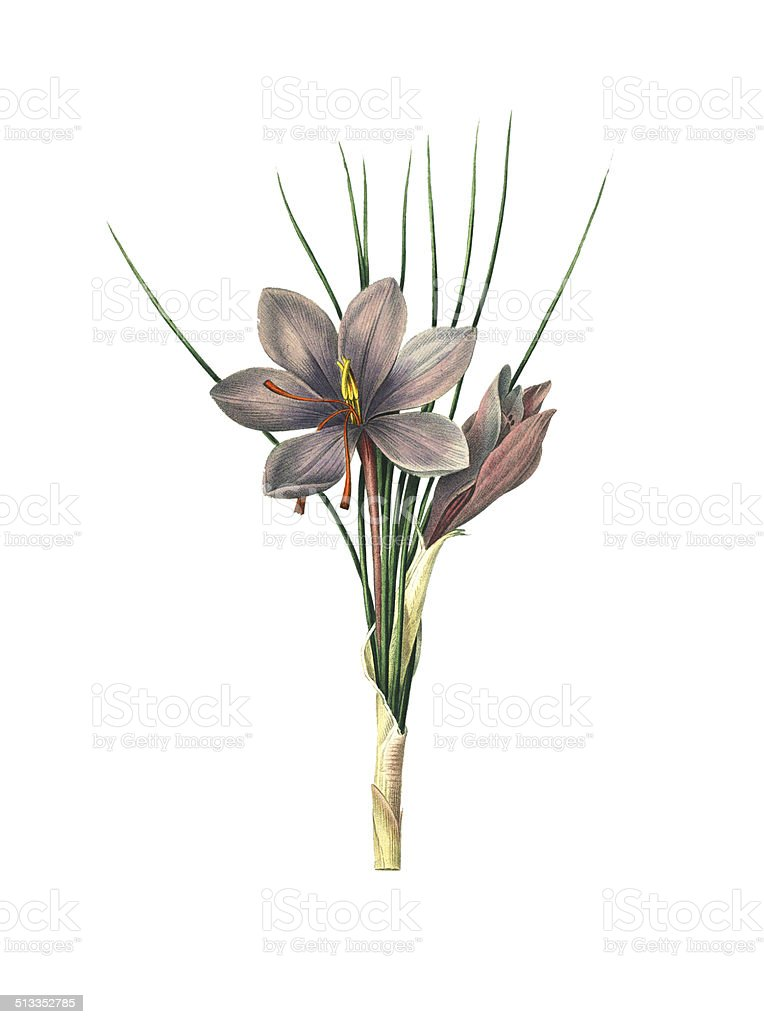 Saffron crocus | Redoute Flower Illustrations vector art illustration