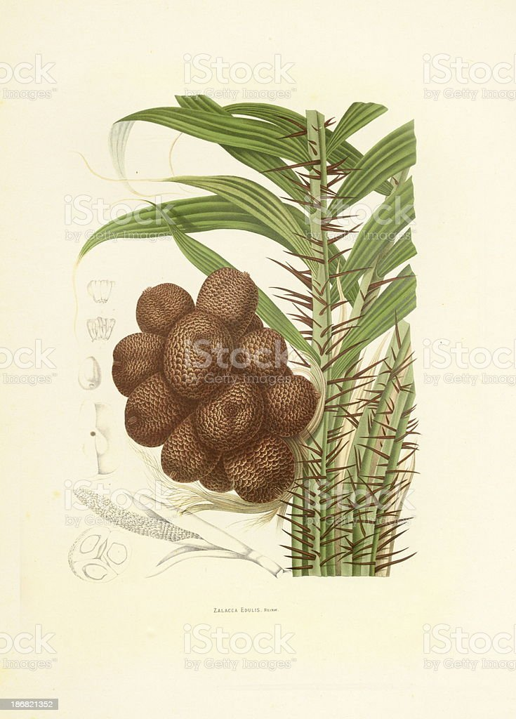 Salacca Palm Tree | Antique Plant Illustrations vector art illustration