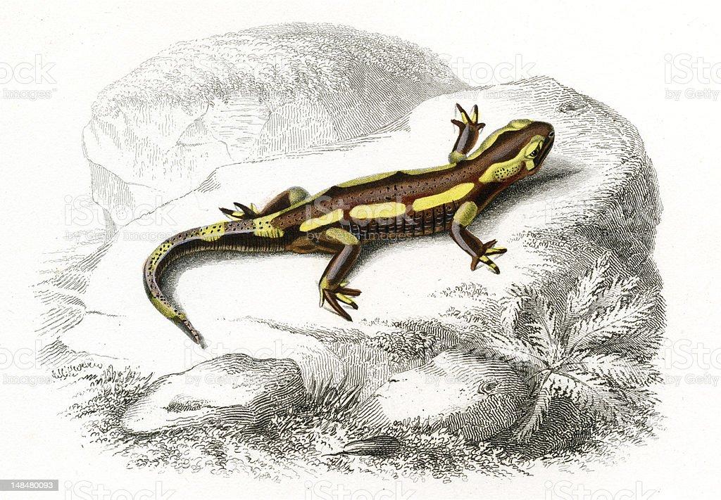 salamander, historic Illustration, 1849 vector art illustration