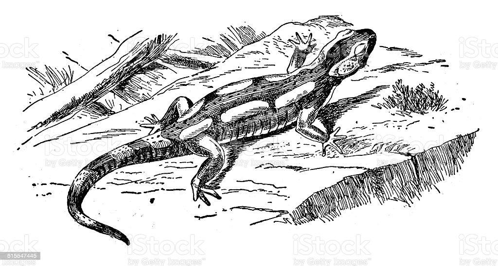 Salamander vector art illustration