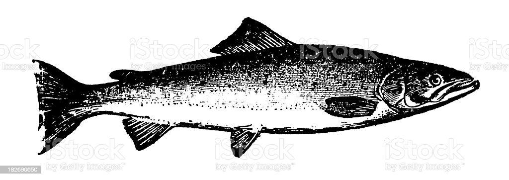 Salmon   Antique Animal Illustrations royalty-free stock vector art