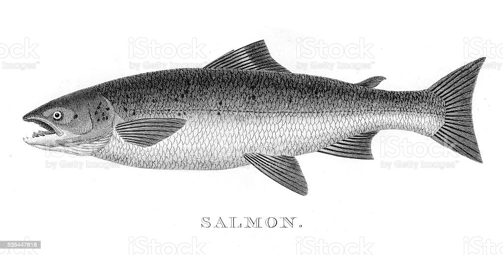 Salmon engraving 1812 vector art illustration