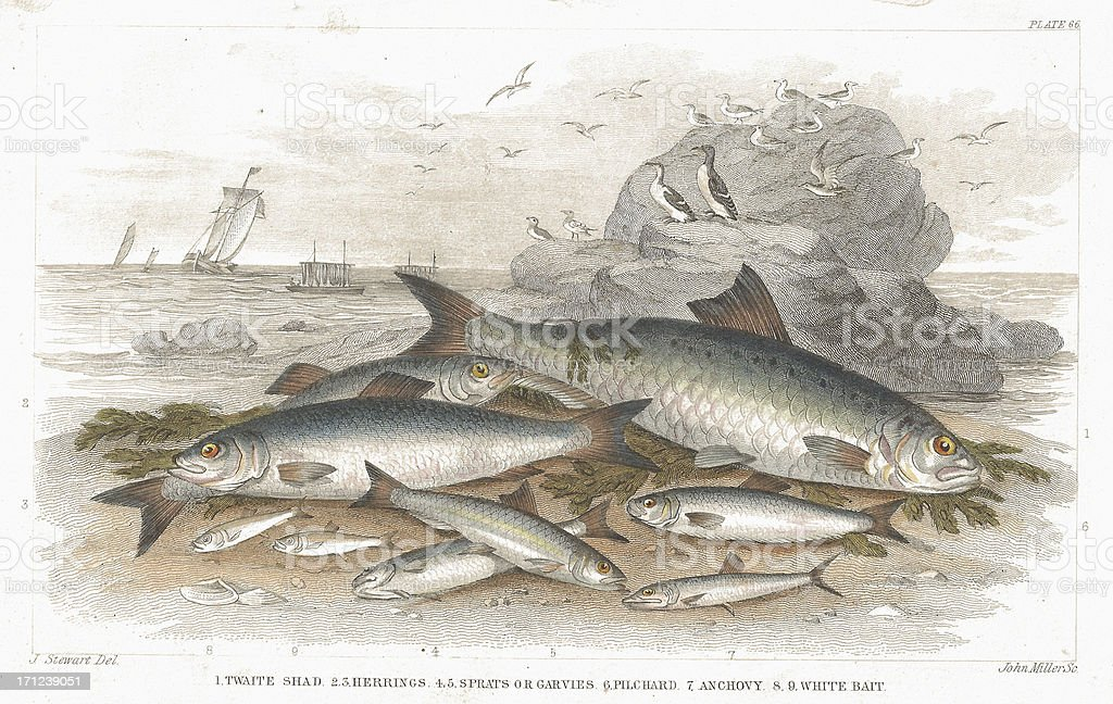 Saltwater fish old litho print from 1852 vector art illustration