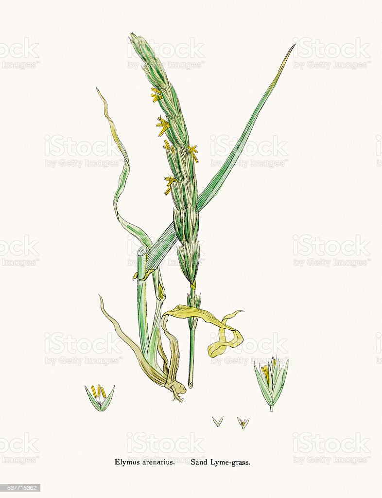Sand lyme grass has antimicrobial effect vector art illustration