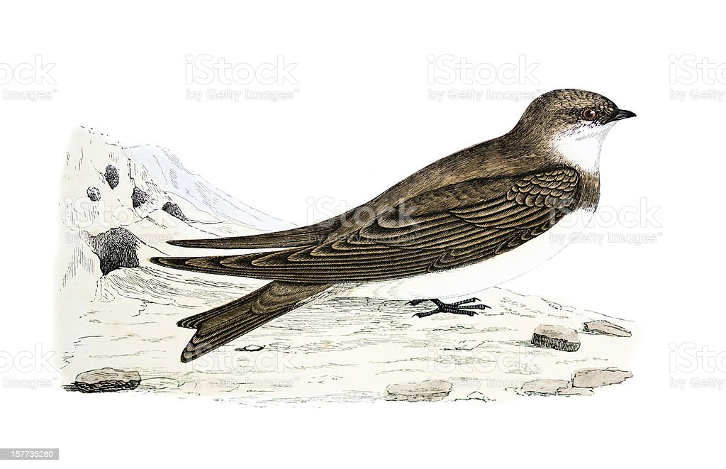 Sand Martin - Hand Coloured Engraving royalty-free stock vector art