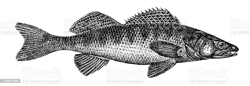 Sander | Antique Animal Illustrations vector art illustration