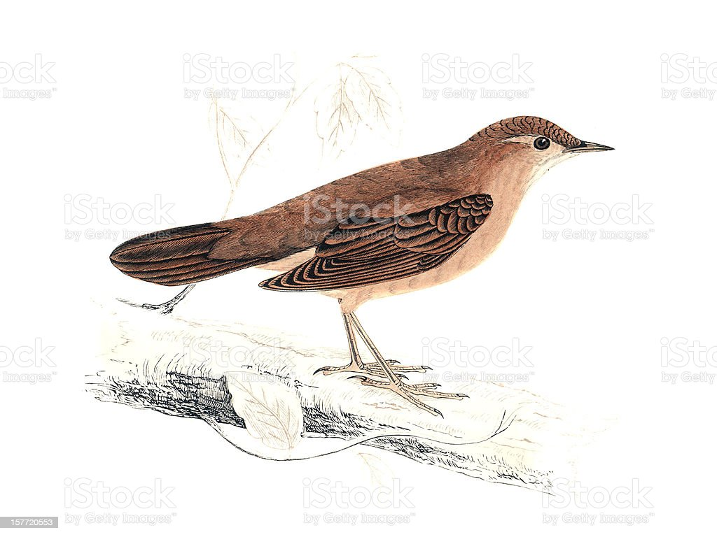 Savi's Warbler - Hand Coloured Engraving royalty-free stock vector art