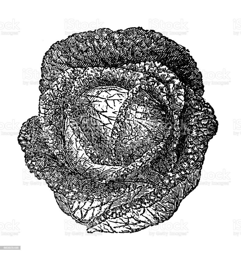 Savoy cabbage vector art illustration