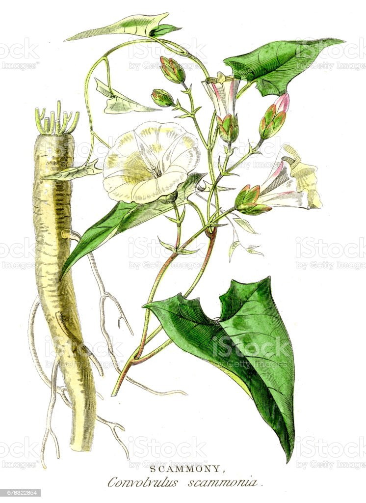 Scammony botanical engraving 1857 vector art illustration