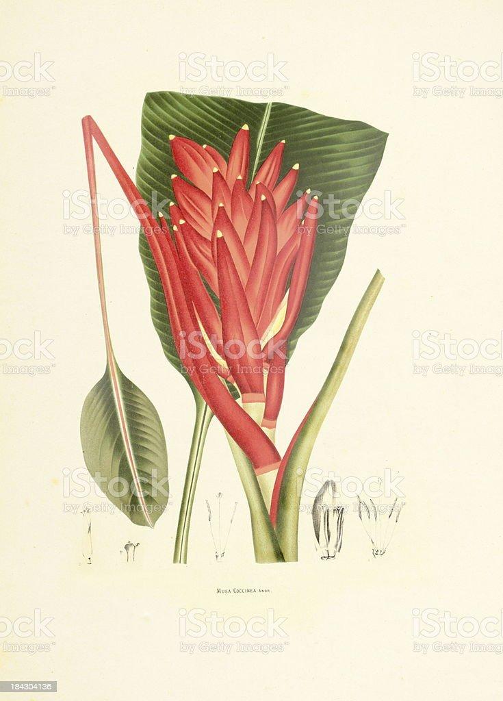 Scarlet banana | Antique Plant Illustrations vector art illustration
