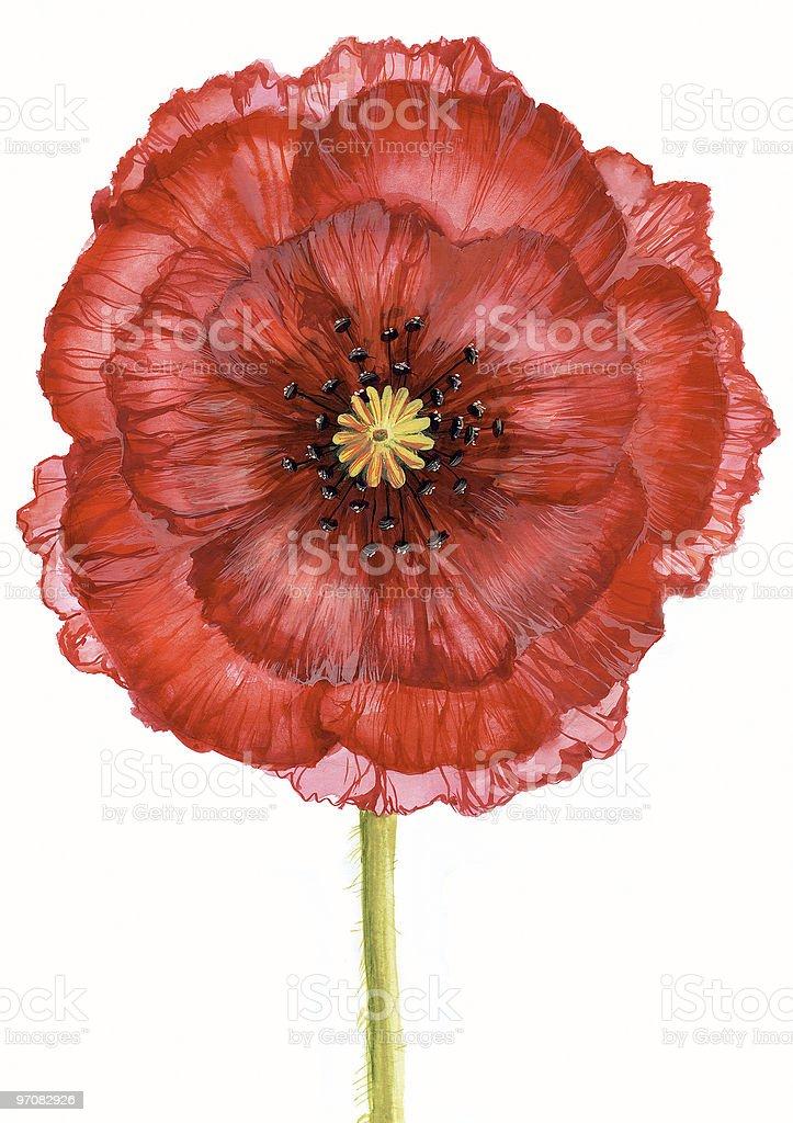 Scarlet poppy royalty-free stock vector art