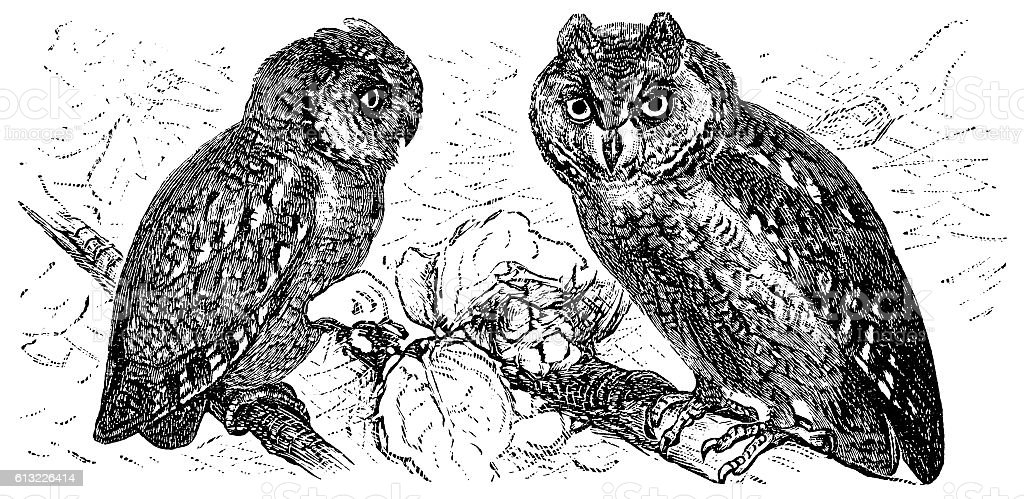 Scops of America (Scops asio) or American owl vector art illustration