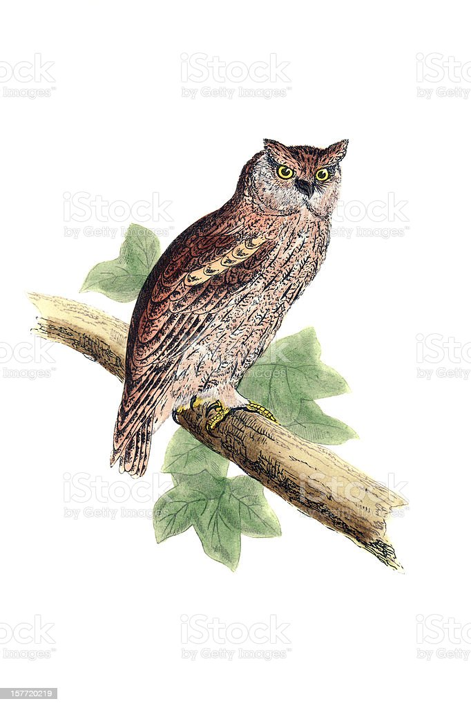 Scops Owl - Hand Coloured Engraving royalty-free stock vector art