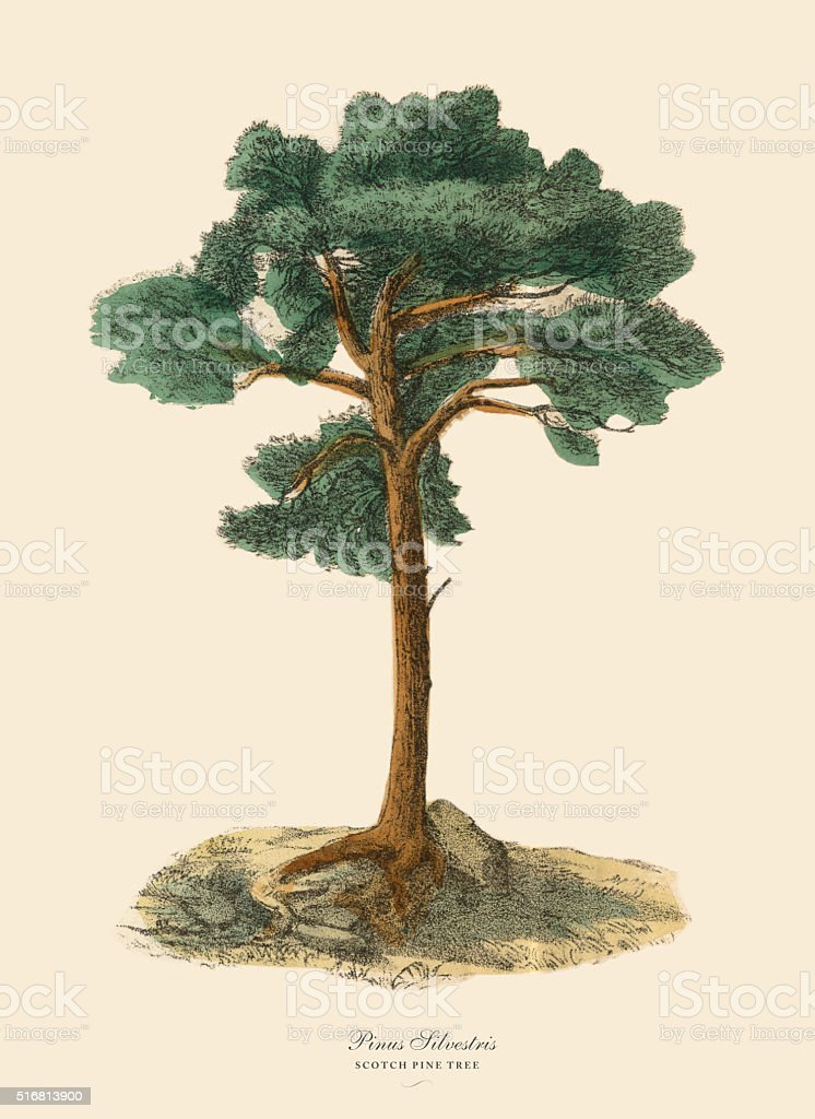 Scotch Pine Tree or Pinus Silvetris, Victorian Botanical Illustration vector art illustration