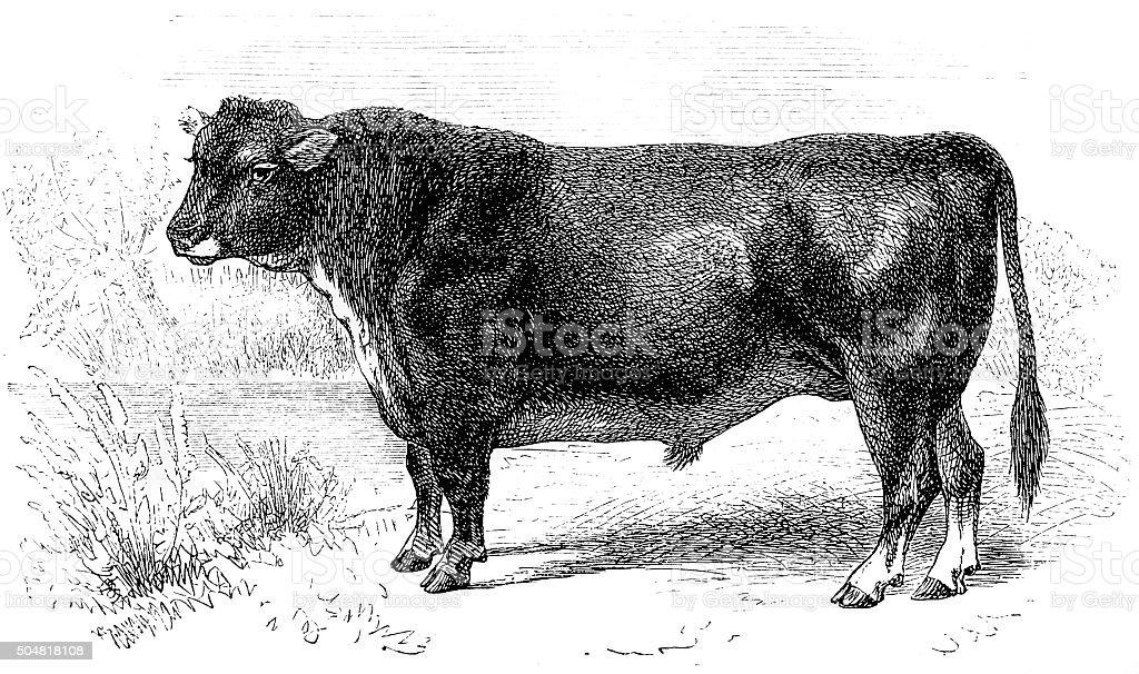 Scottish hornless bull vector art illustration