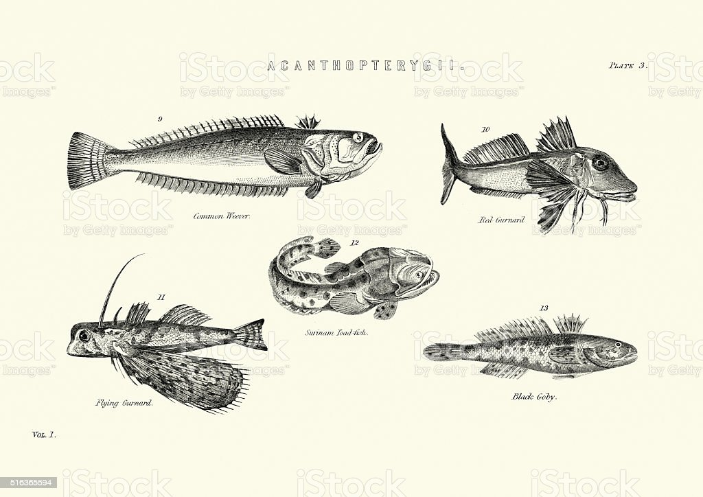 Sea Life - Weever, Red Gurnard, Toadfish, Flyfish, Black Goby vector art illustration