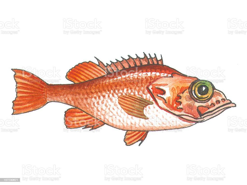 sea perch royalty-free stock vector art