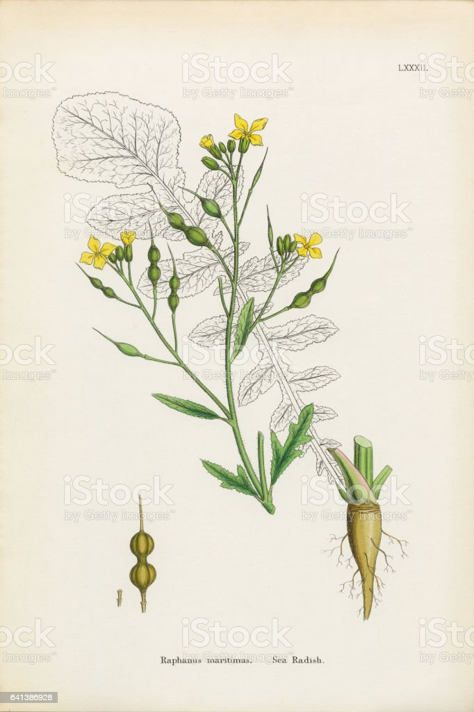 Sea Radish, Raphanus maritimus, Victorian Botanical Illustration, 1863 vector art illustration