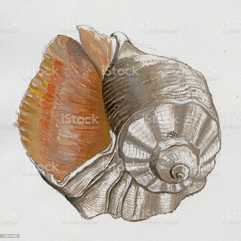 Sea Shell Sketch royalty-free stock vector art