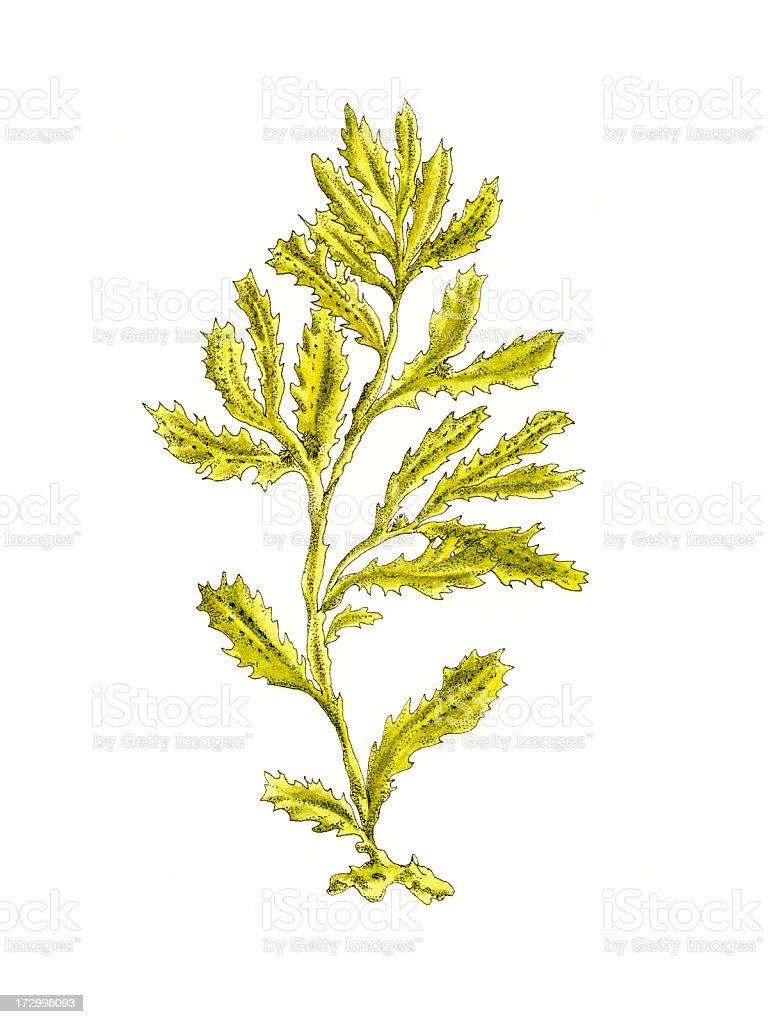 Seaweed. vector art illustration