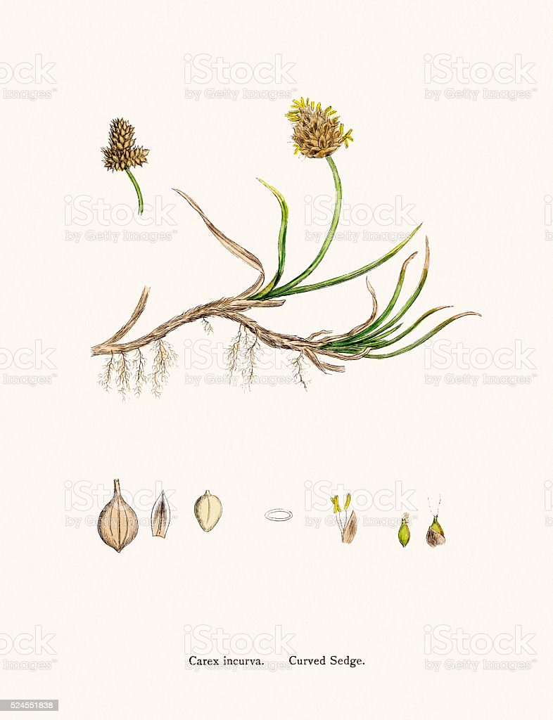 Sedge grass scientific illustration vector art illustration