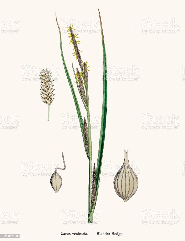 Sedge grass scientific illustration vector art illustration
