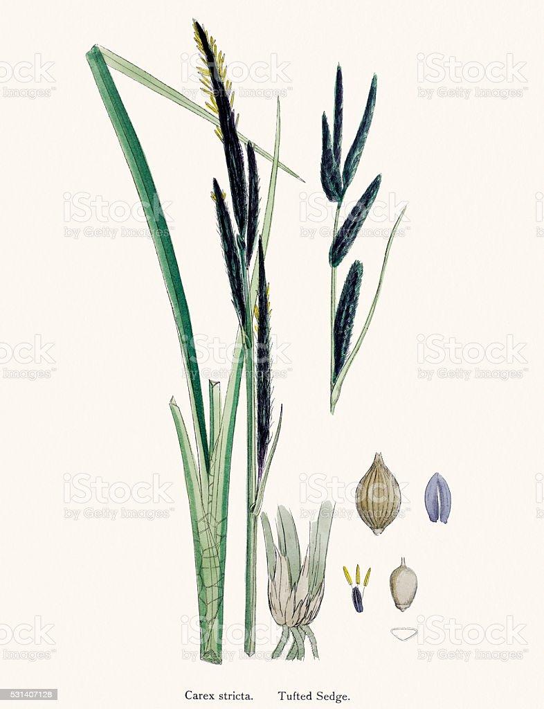 Sedge underground stem used in medicine vector art illustration