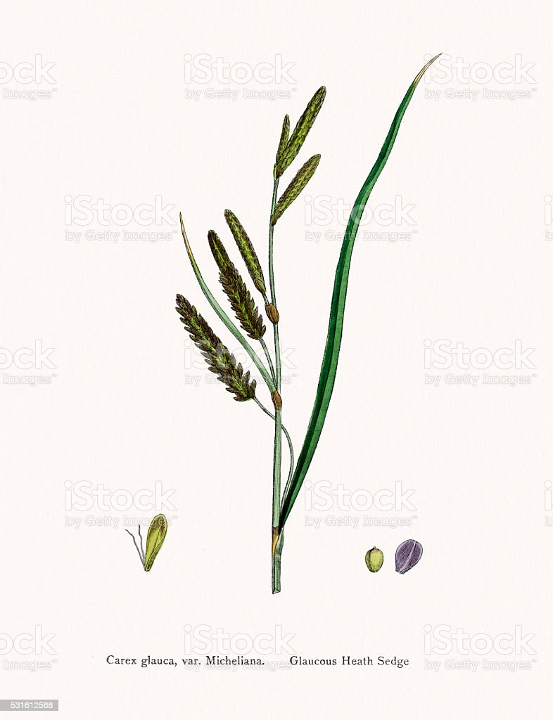Sedge underground stem used in medicine vector art illustration