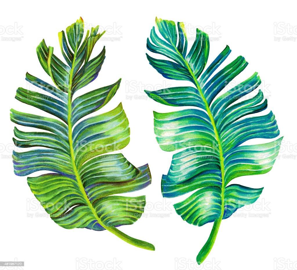 seingle isolated banana leaf vector art illustration