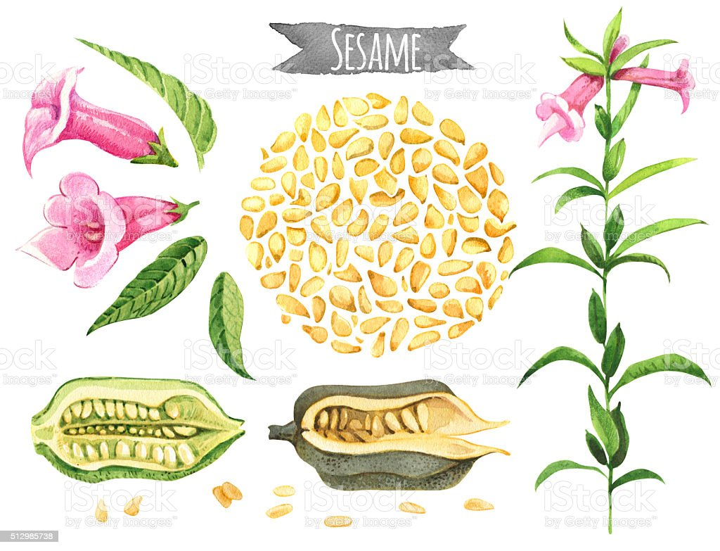 Sesame, watercolor set vector art illustration