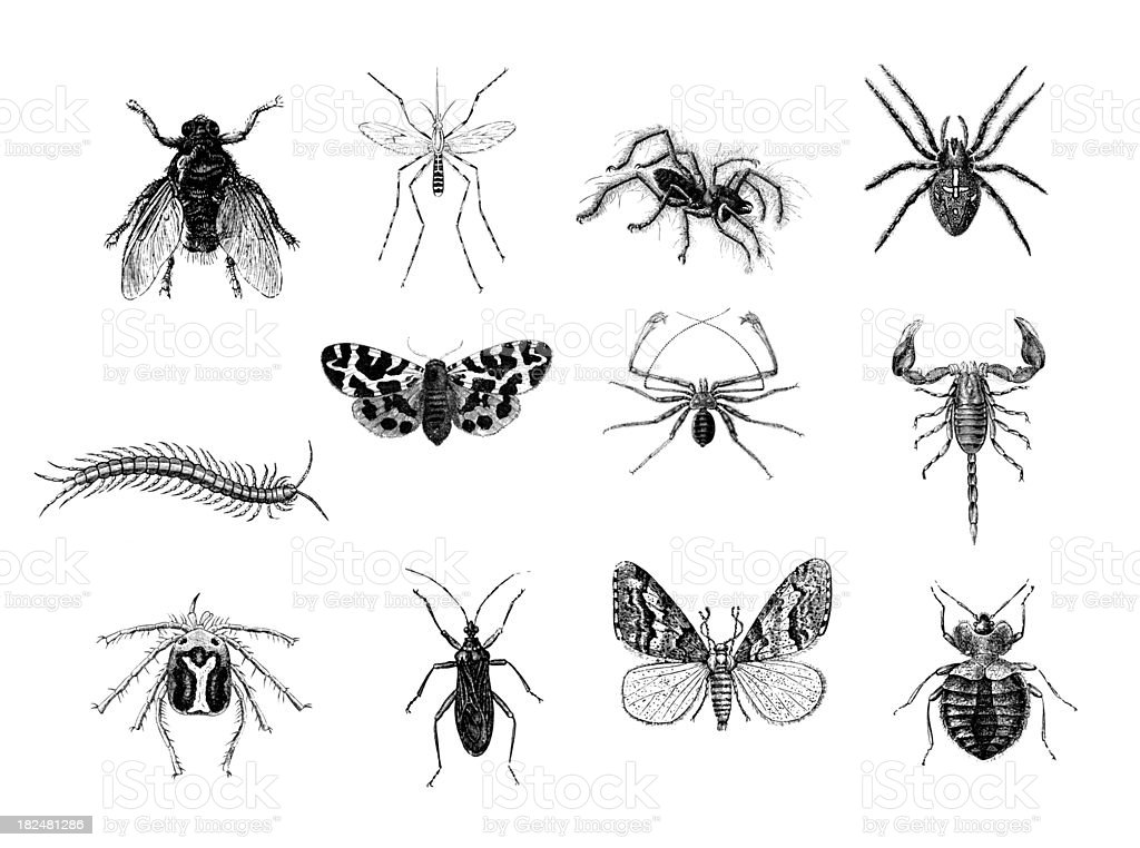 Set of 12 Insects   Antique Animal Illustrations vector art illustration