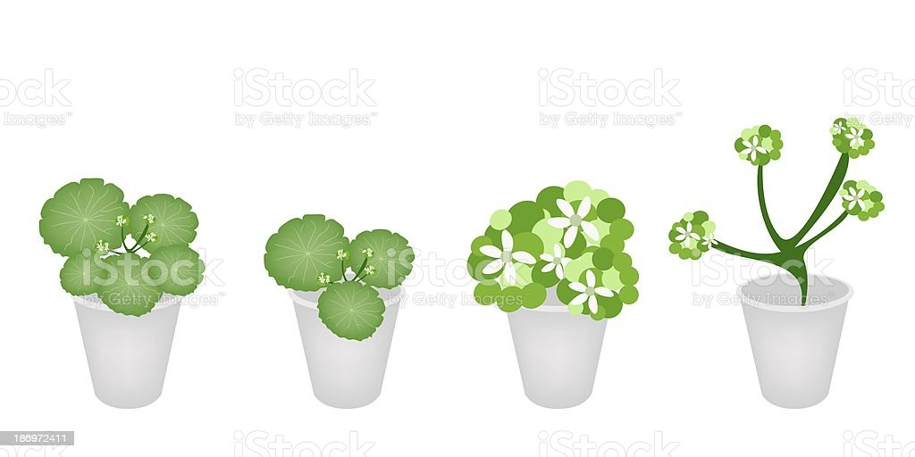 Set of Asiatic Pennywort in A Flower Pot vector art illustration
