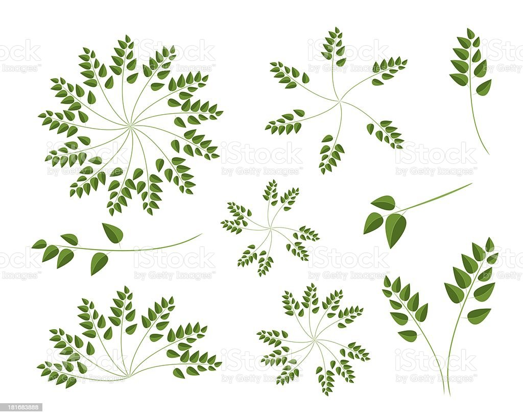 Set of Evergreen Leaves on White Background royalty-free stock vector art