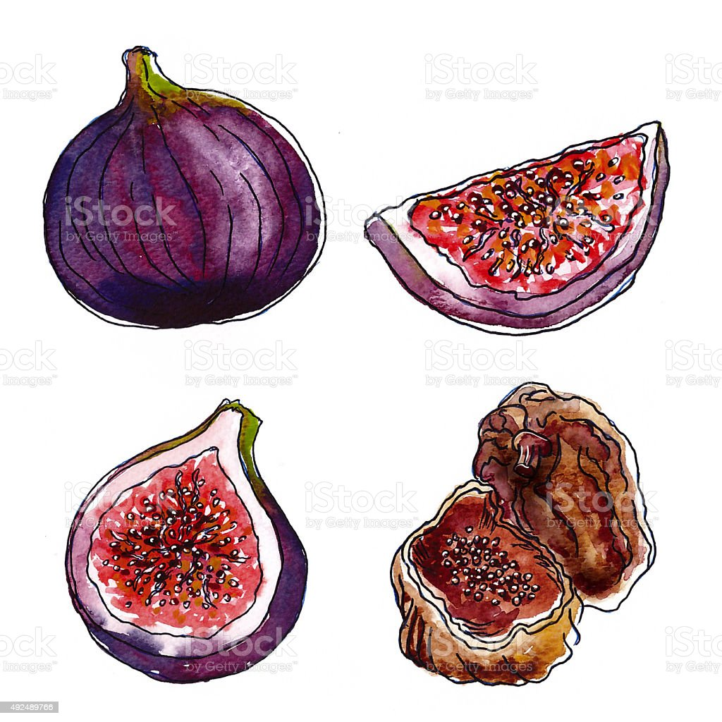 Set of figs on white background, watercolor vector art illustration