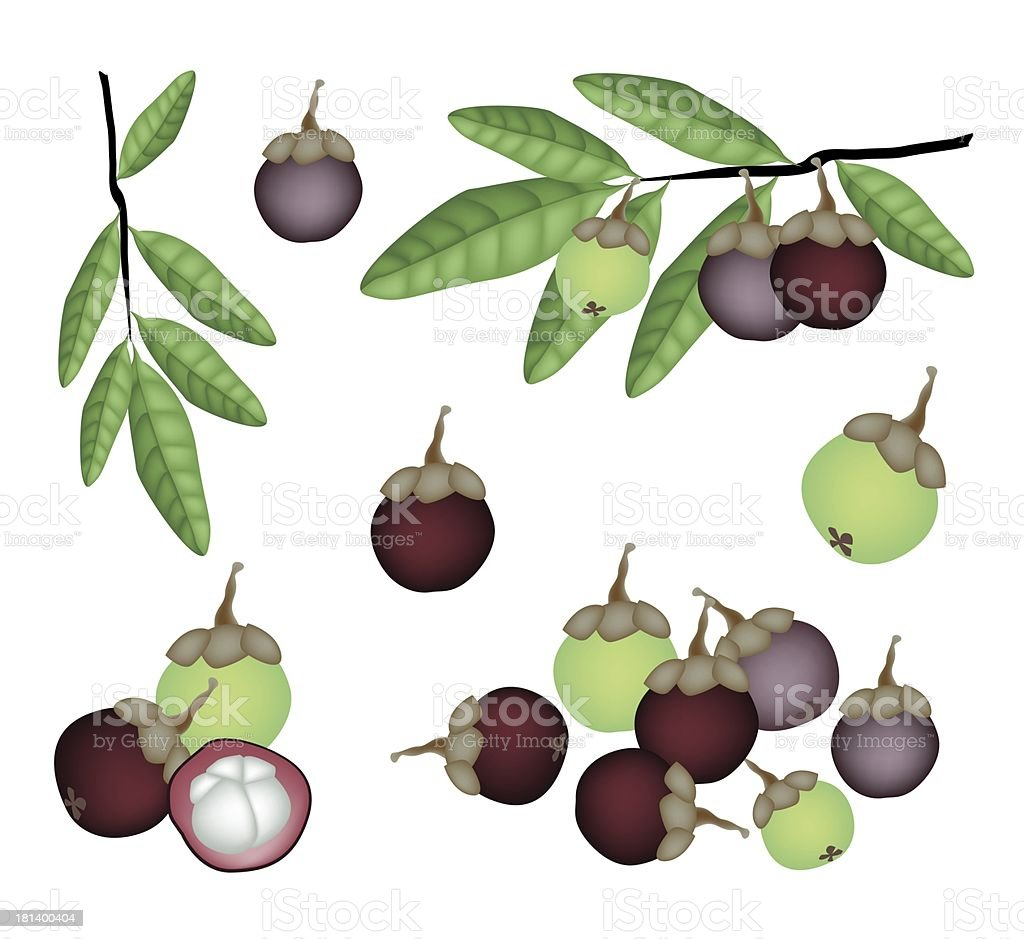 Set of Fresh Purple and Green Mangosteens royalty-free stock vector art